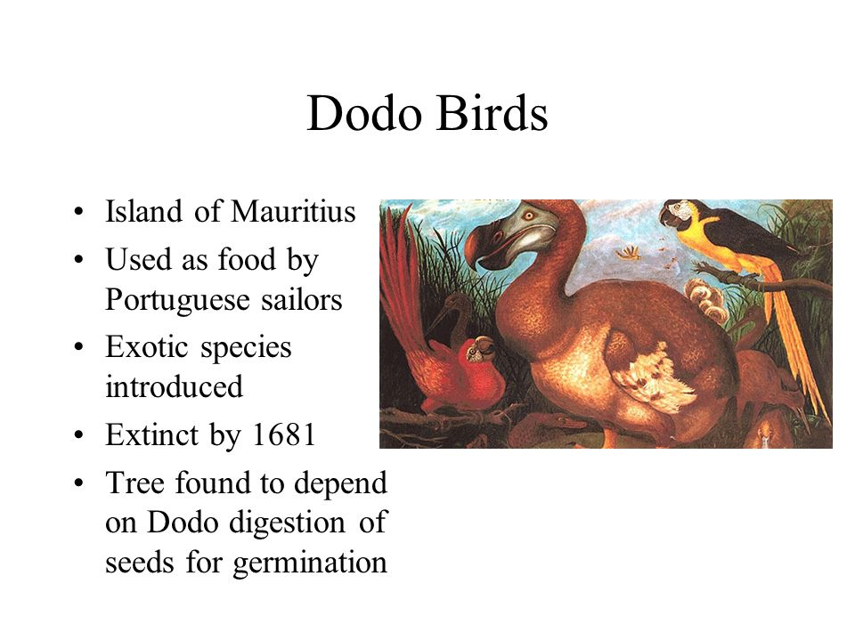 Dodo Birds Island of Mauritius Used as food by Portuguese sailors Exotic species introduced Extinct by 1681 Tree found to depend on Dodo digestion of seeds for germination