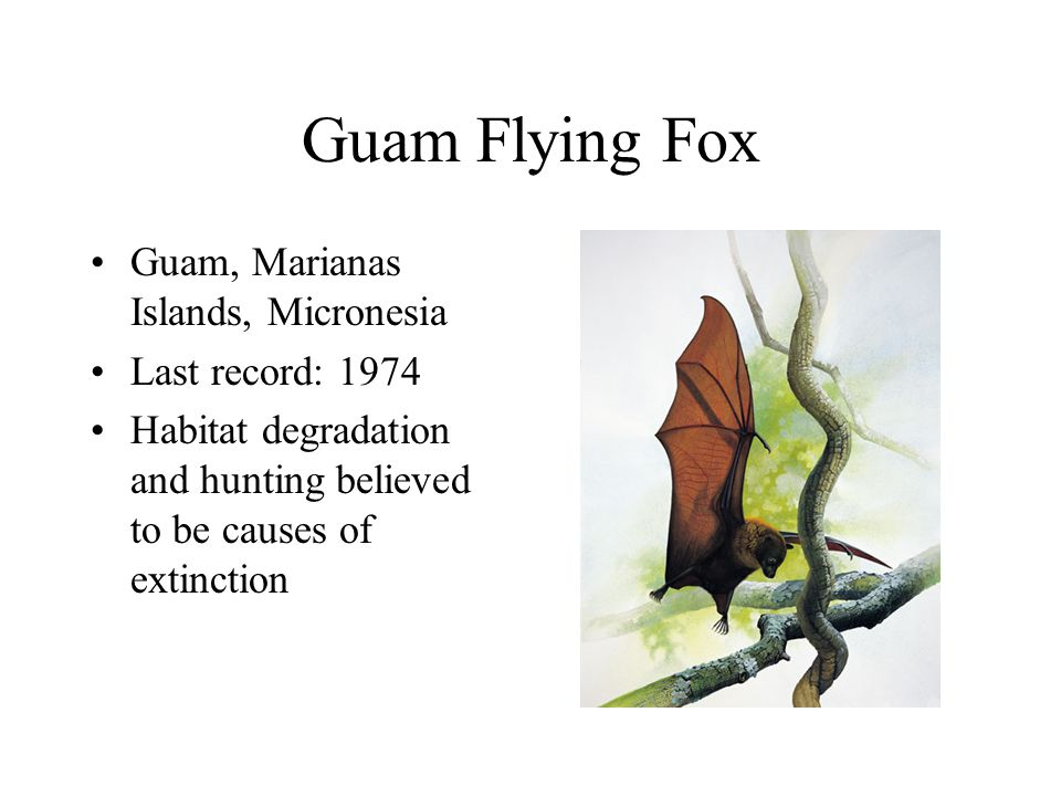 Guam Flying Fox Guam, Marianas Islands, Micronesia Last record: 1974 Habitat degradation and hunting believed to be causes of extinction