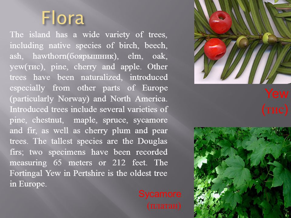 Flora The island has a wide variety of trees, including native species of birch, beech, ash, hawthorn(боярышник), elm, oak, yew ( тис ), pine, cherry and apple.