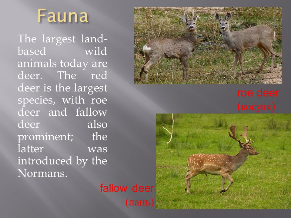 Fauna The largest land- based wild animals today are deer.