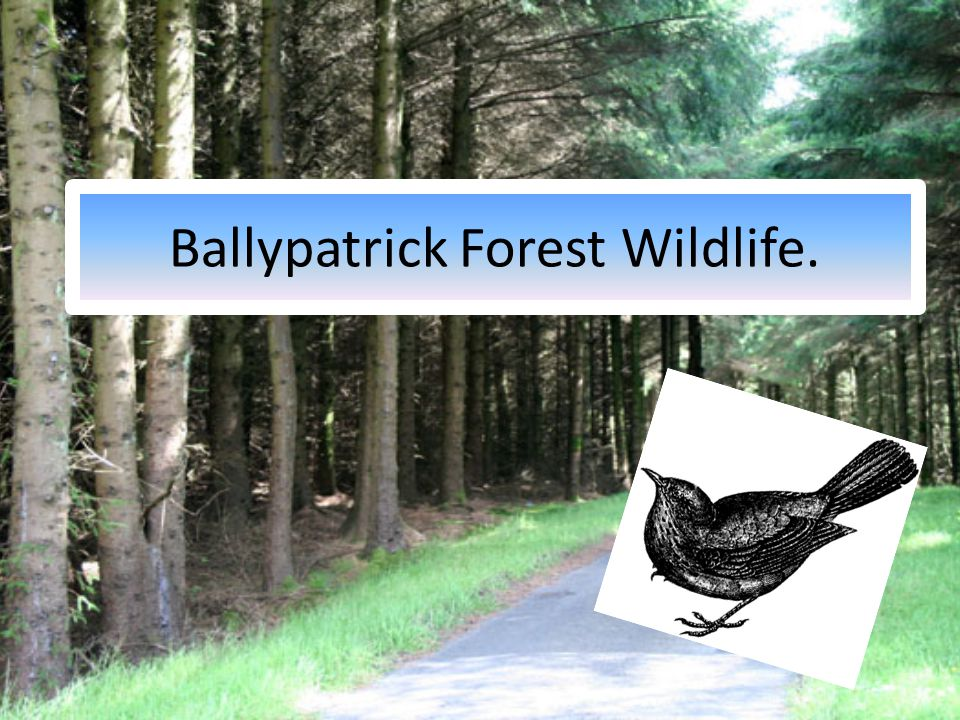 Ballypatrick Forest Wildlife.
