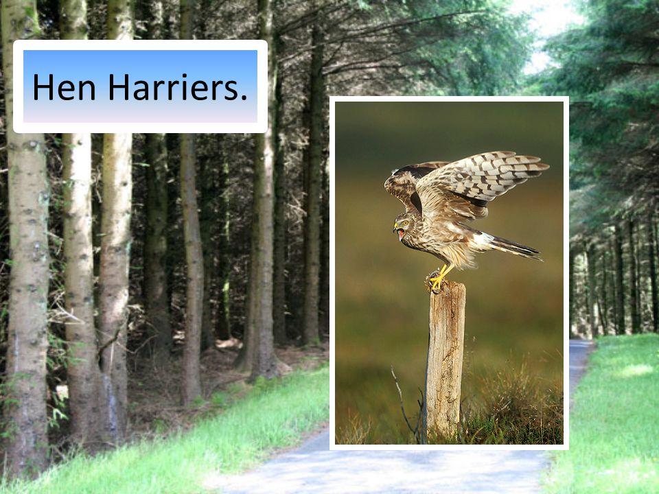 Hen Harriers.