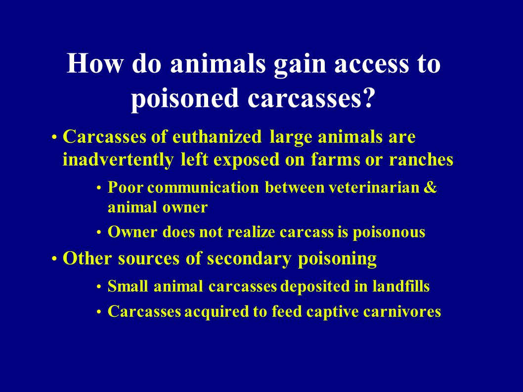 Carcasses of euthanized large animals are inadvertently left exposed on farms or ranches Poor communication between veterinarian & animal owner Owner does not realize carcass is poisonous Other sources of secondary poisoning Small animal carcasses deposited in landfills Carcasses acquired to feed captive carnivores How do animals gain access to poisoned carcasses