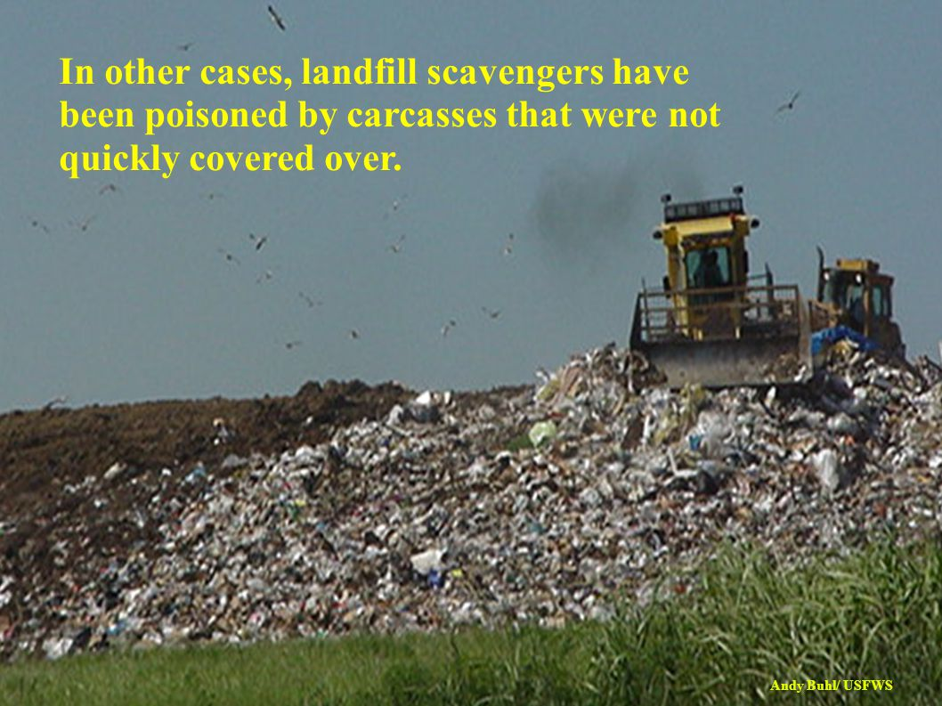 In other cases, landfill scavengers have been poisoned by carcasses that were not quickly covered over.
