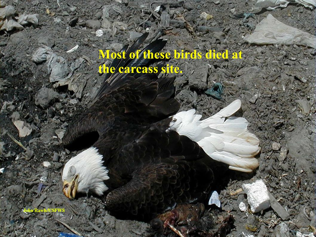 Others wandered into traffic, drowned, or were killed by predation, mobbing attacks, or electrocution after contact with power lines.