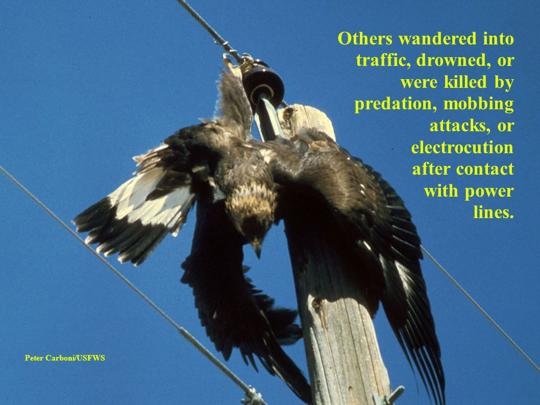 ● Most reported cases involve eagles.
