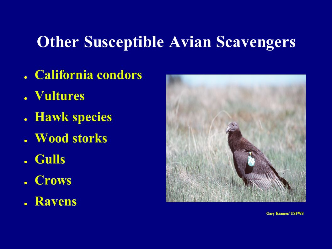 Susceptible Mammalian Scavengers ● Bears ● Martens & fishers ● Lynxes ● Foxes ● Bobcats ● Cougars Jim Frates/ USFWS