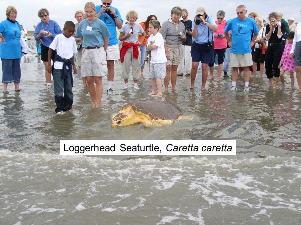 Loggerhead Seaturtle, Caretta caretta