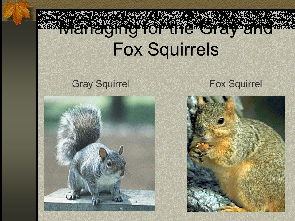 Managing for the Gray and Fox Squirrels Gray SquirrelFox Squirrel