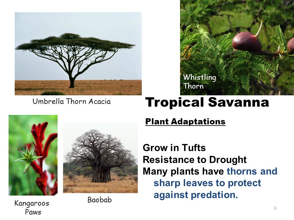 Whistling Thorn Umbrella Thorn Acacia Tropical Savanna Plant Adaptations Grow in Tufts Resistance to Drought Many plants have thorns and sharp leaves to protect against predation.