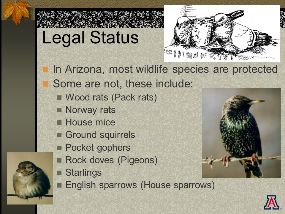 Legal Status In Arizona, most wildlife species are protected Some are not, these include: Wood rats (Pack rats) Norway rats House mice Ground squirrels Pocket gophers Rock doves (Pigeons) Starlings English sparrows (House sparrows)