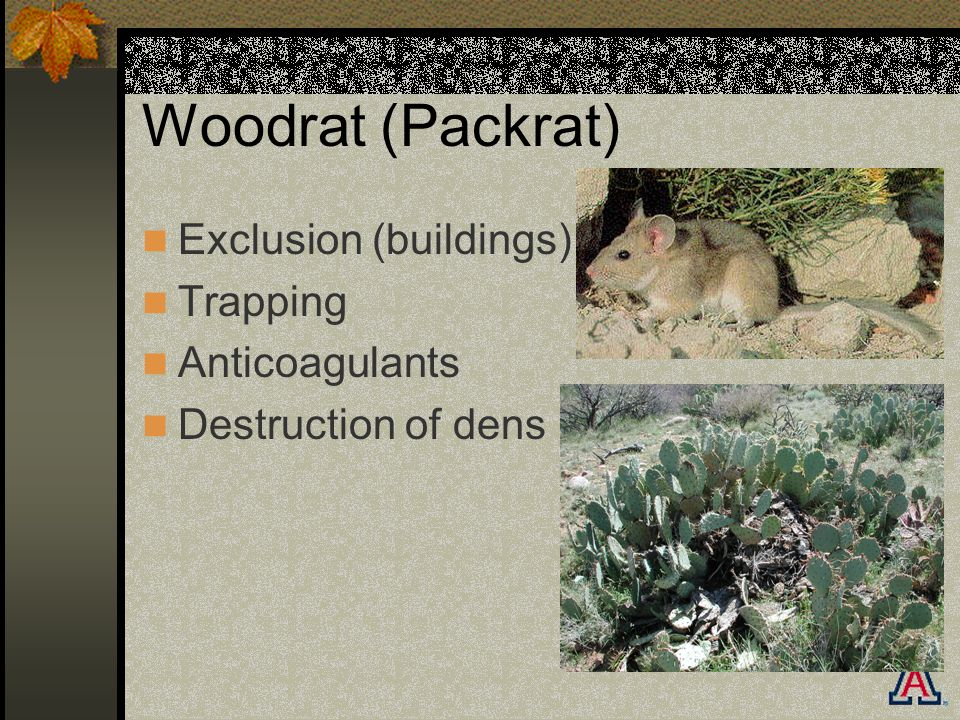 Woodrat (Packrat) Exclusion (buildings) Trapping Anticoagulants Destruction of dens