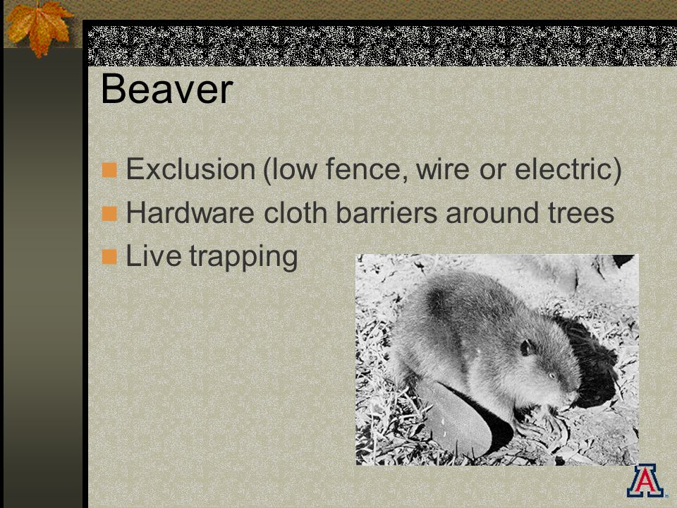 Beaver Exclusion (low fence, wire or electric) Hardware cloth barriers around trees Live trapping