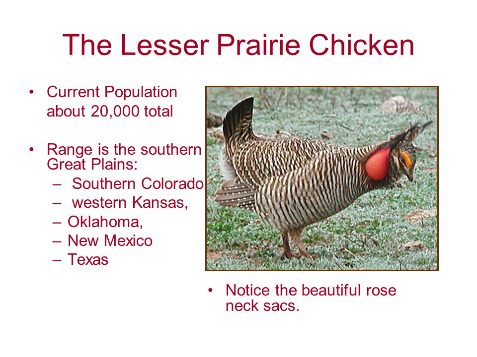 The Lesser Prairie Chicken Current Population about 20,000 total Range is the southern Great Plains: – Southern Colorado, – western Kansas, –Oklahoma, –New Mexico –Texas Notice the beautiful rose neck sacs.