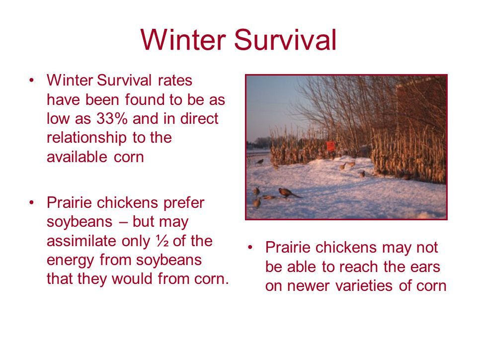 Winter Survival Winter Survival rates have been found to be as low as 33% and in direct relationship to the available corn Prairie chickens prefer soybeans – but may assimilate only ½ of the energy from soybeans that they would from corn.