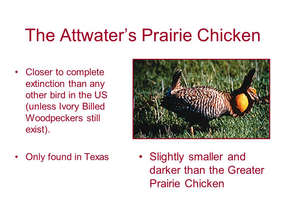 The Attwater's Prairie Chicken Closer to complete extinction than any other bird in the US (unless Ivory Billed Woodpeckers still exist).