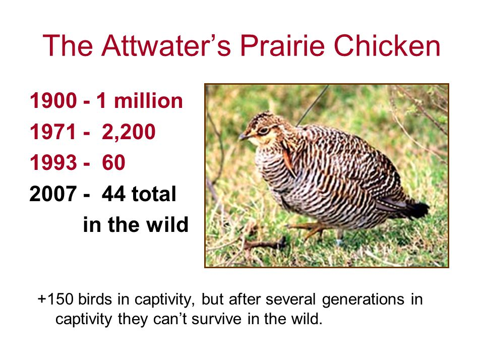 The Attwater's Prairie Chicken 1900 - 1 million 1971 - 2,200 1993 - 60 2007 - 44 total in the wild +150 birds in captivity, but after several generations in captivity they can't survive in the wild.