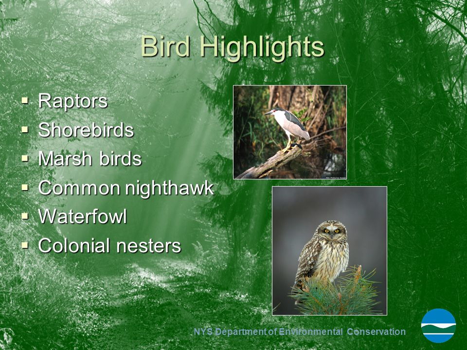 NYS Department of Environmental Conservation Bird Highlights  Raptors  Shorebirds  Marsh birds  Common nighthawk  Waterfowl  Colonial nesters