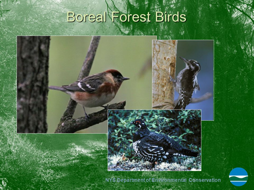 NYS Department of Environmental Conservation Boreal Forest Birds