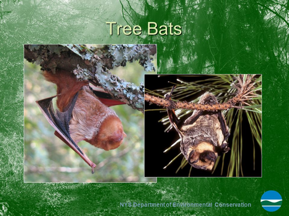 NYS Department of Environmental Conservation Tree Bats