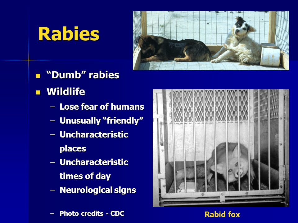 Rabies Dumb rabies Dumb rabies Wildlife Wildlife –Lose fear of humans –Unusually friendly –Uncharacteristic places –Uncharacteristic times of day –Neurological signs –Photo credits - CDC Rabid fox