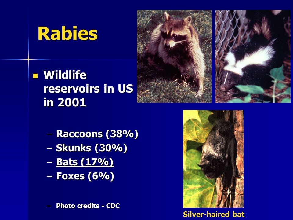 Rabies Wildlife reservoirs in US in 2001 Wildlife reservoirs in US in 2001 –Raccoons (38%) –Skunks (30%) –Bats (17%) –Foxes (6%) –Photo credits - CDC Silver-haired bat