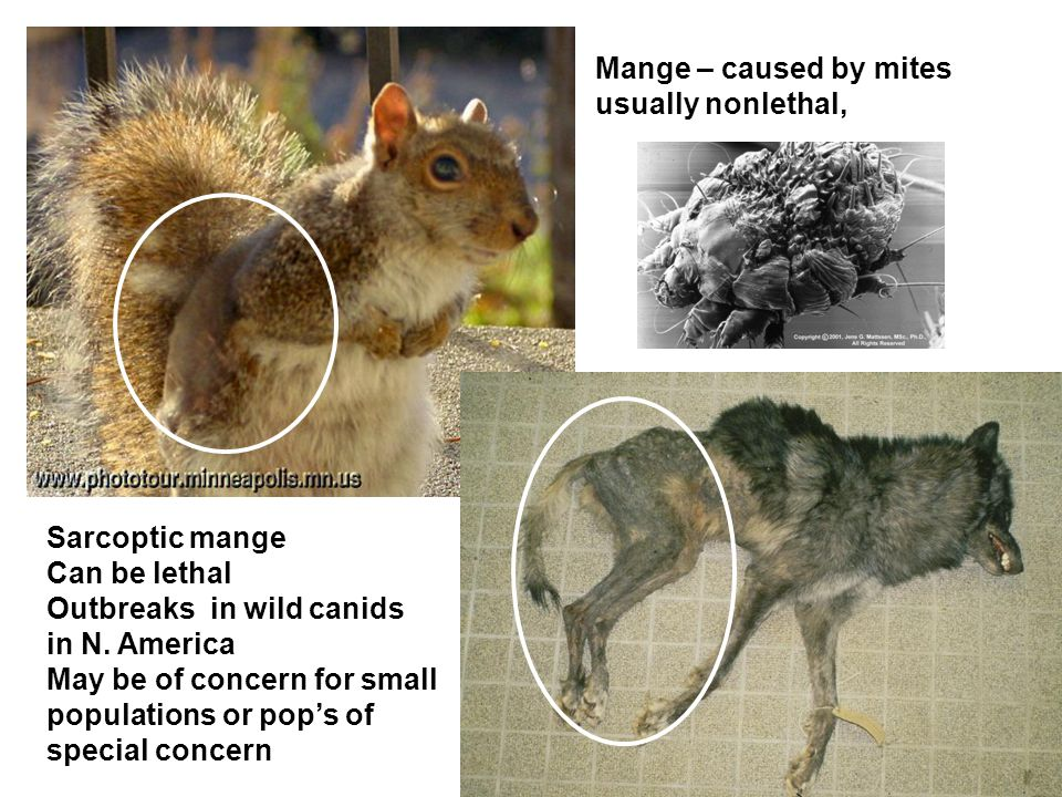 Mange – caused by mites usually nonlethal, Sarcoptic mange Can be lethal Outbreaks in wild canids in N.