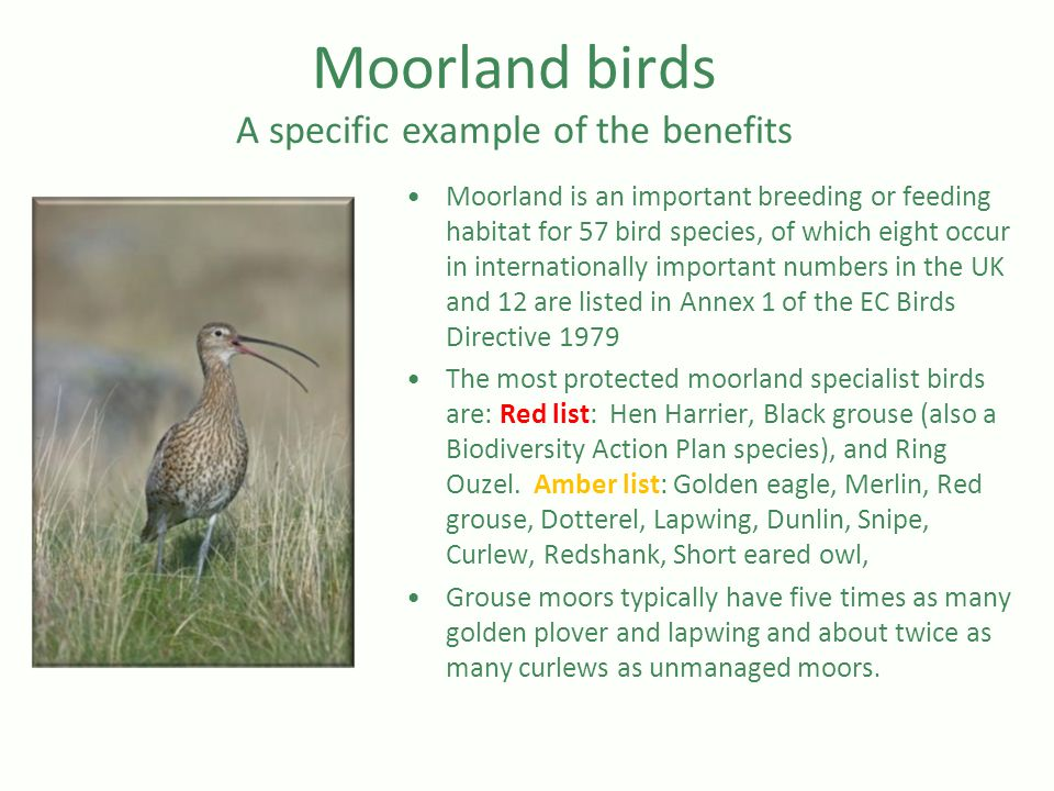 Moorland birds A specific example of the benefits Moorland is an important breeding or feeding habitat for 57 bird species, of which eight occur in internationally important numbers in the UK and 12 are listed in Annex 1 of the EC Birds Directive 1979 The most protected moorland specialist birds are: Red list: Hen Harrier, Black grouse (also a Biodiversity Action Plan species), and Ring Ouzel.