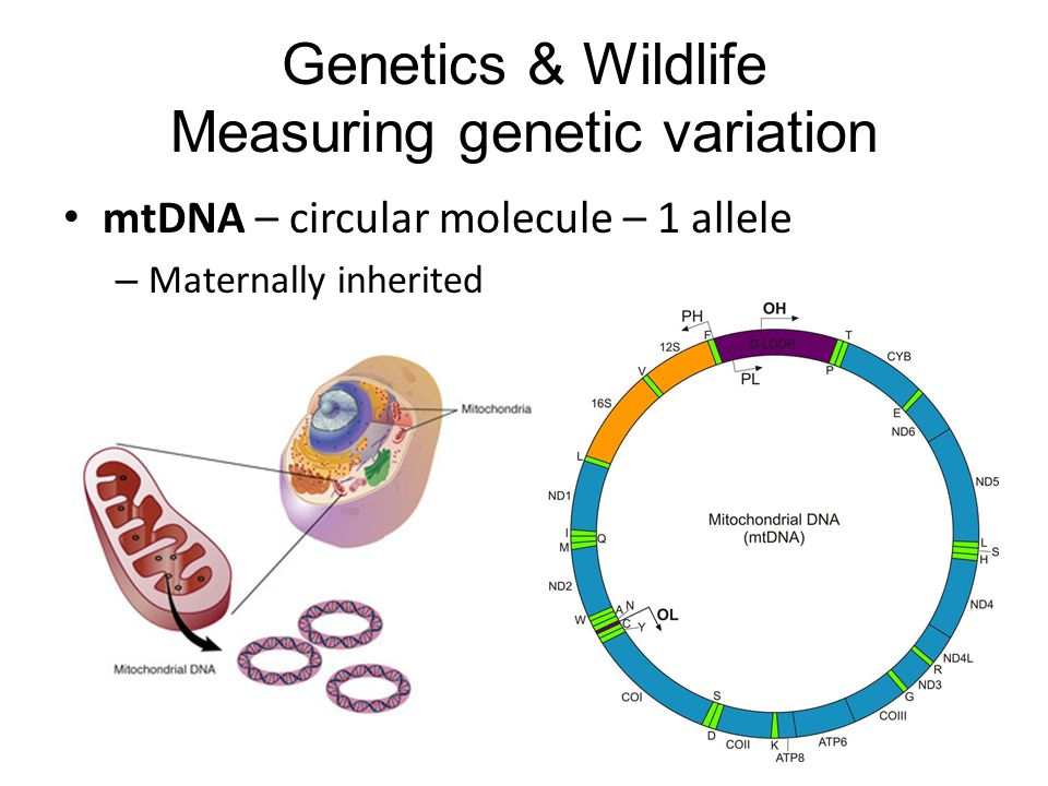 mtDNA – circular molecule – 1 allele – Maternally inherited Genetics & Wildlife Measuring genetic variation