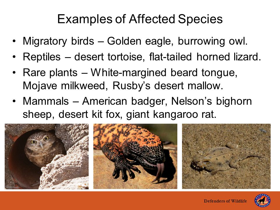 Defenders of Wildlife title here text here Examples of Affected Species Migratory birds – Golden eagle, burrowing owl. Reptiles – desert tortoise, fla