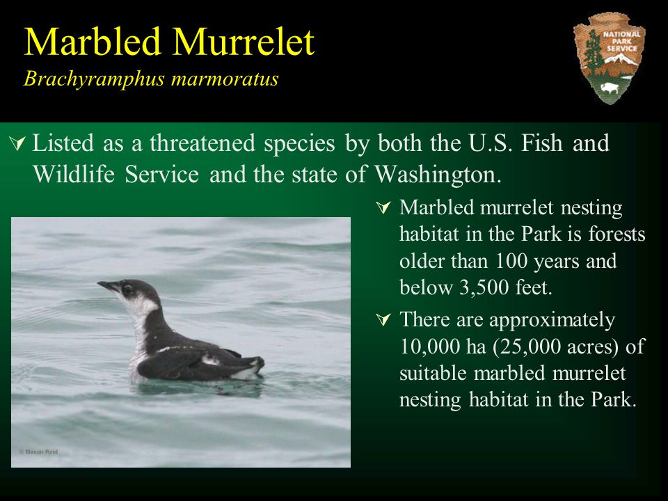 Marbled Murrelet Brachyramphus marmoratus  Listed as a threatened species by both the U.S.