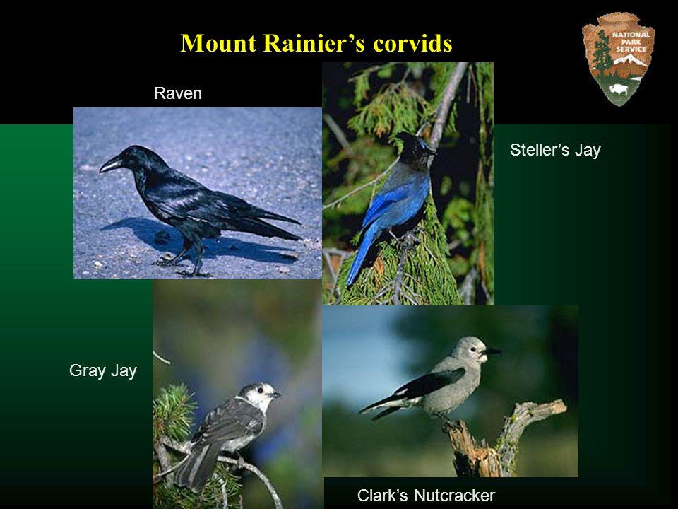 Steller's Jay Clark's Nutcracker Gray Jay Mount Rainier's corvids Raven
