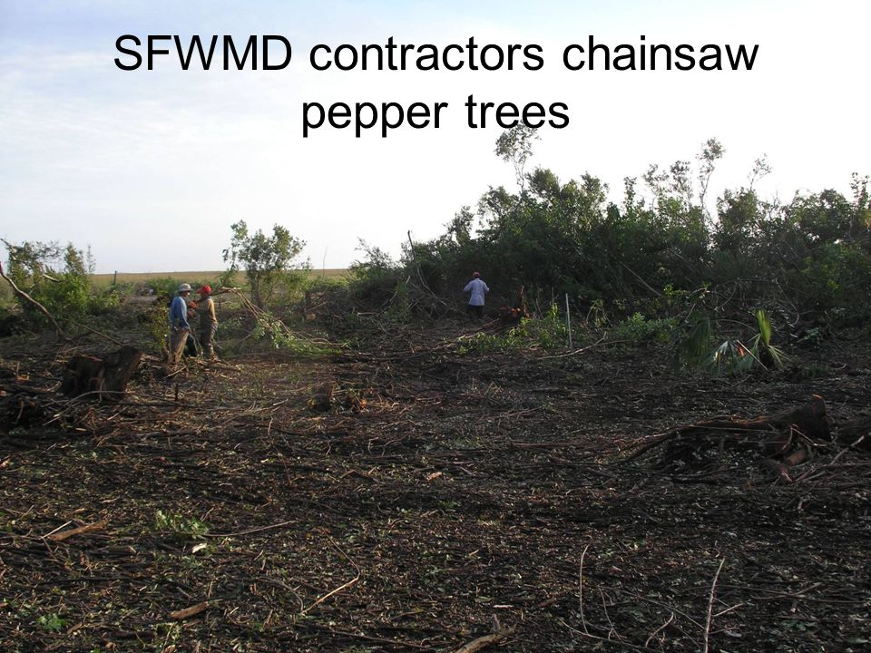 SFWMD contractors chainsaw pepper trees