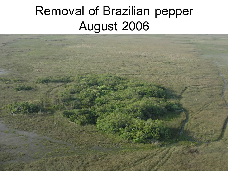 Removal of Brazilian pepper August 2006