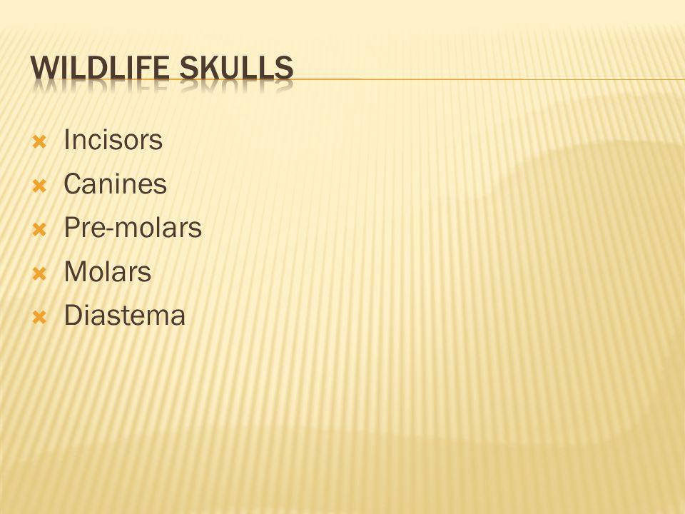  Incisors  Canines  Pre-molars  Molars  Diastema