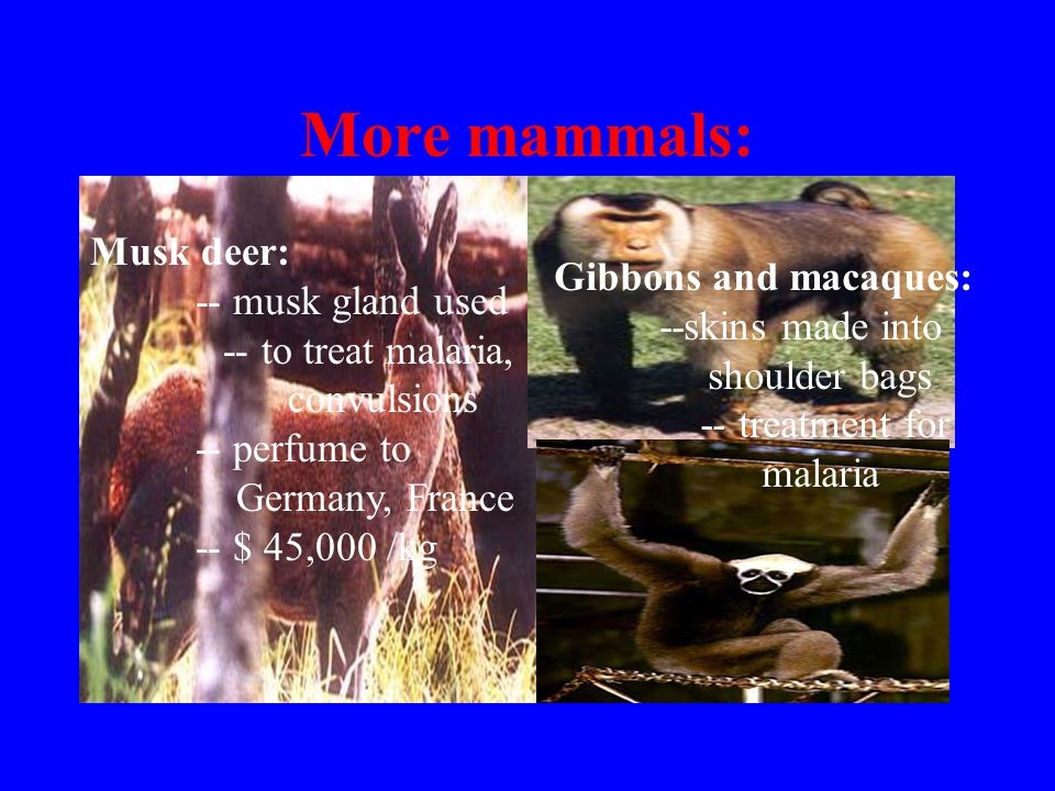 More mammals: Musk deer: -- musk gland used -- to treat malaria, convulsions -- perfume to Germany, France -- $ 45,000 /kg Gibbons and macaques: --skins made into shoulder bags -- treatment for malaria