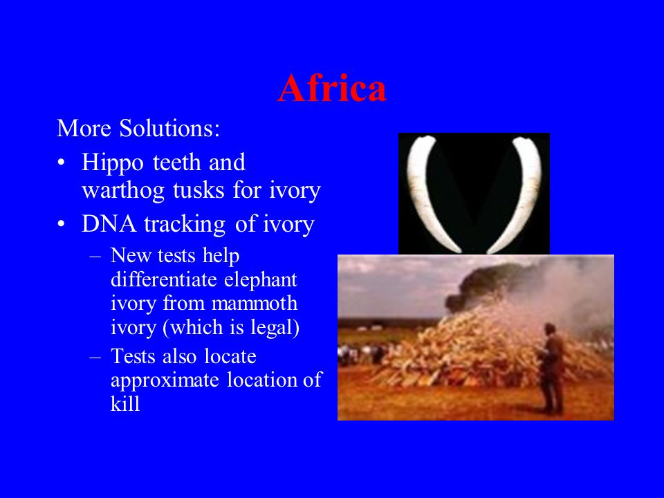 Africa More Solutions: Hippo teeth and warthog tusks for ivory DNA tracking of ivory –New tests help differentiate elephant ivory from mammoth ivory (which is legal) –Tests also locate approximate location of kill