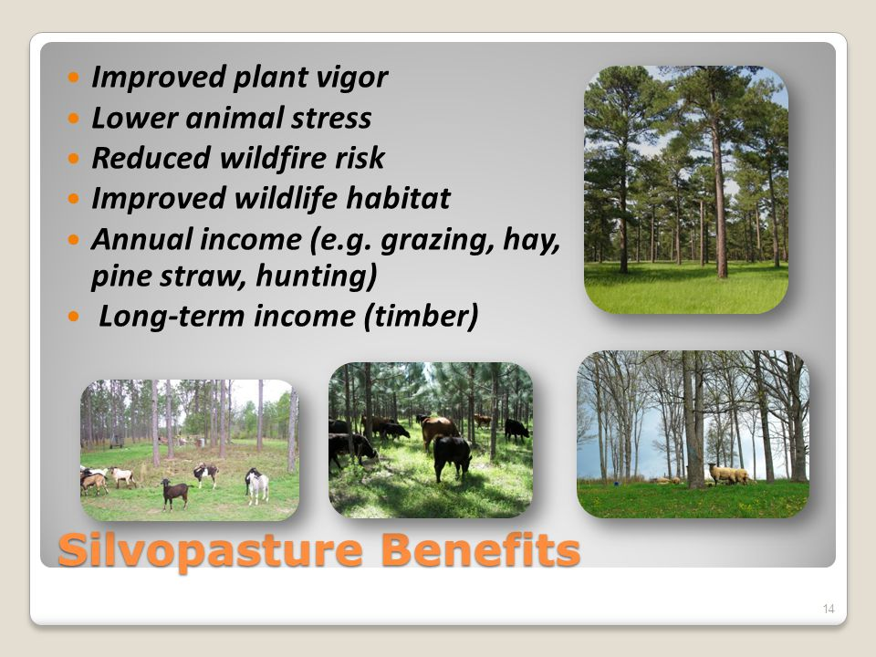 Silvopasture Benefits Improved plant vigor Lower animal stress Reduced wildfire risk Improved wildlife habitat Annual income (e.g.
