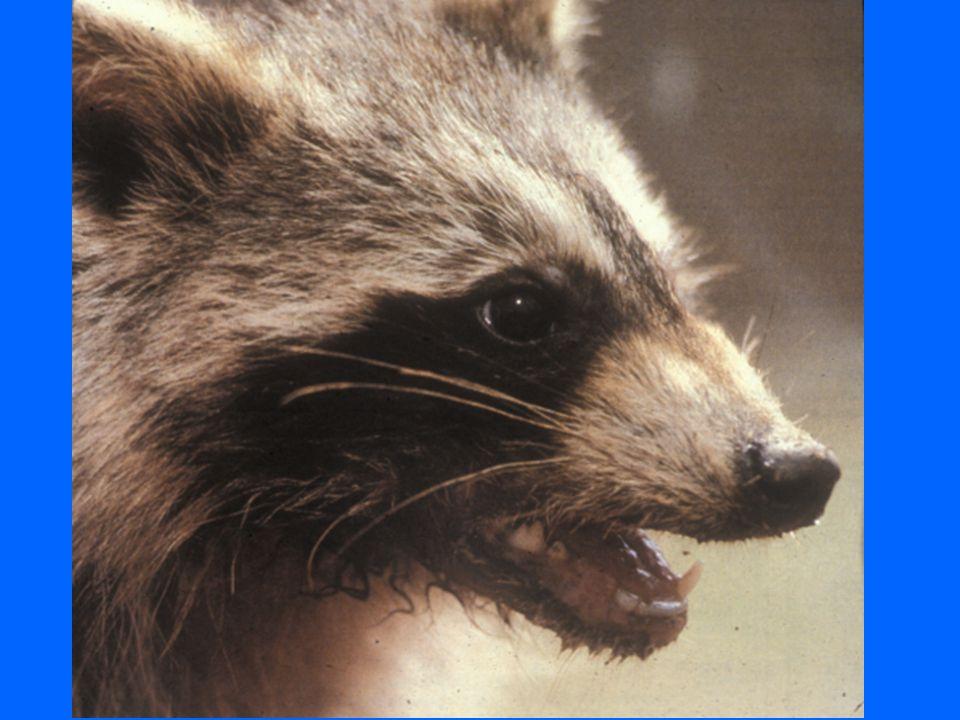 Raccoon Rabies Raccoon rabies is moving our way.Raccoon rabies is moving our way.