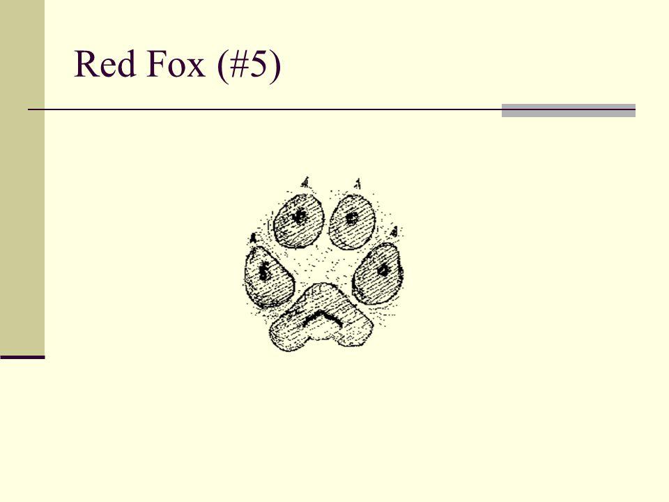 Red Fox (#5)