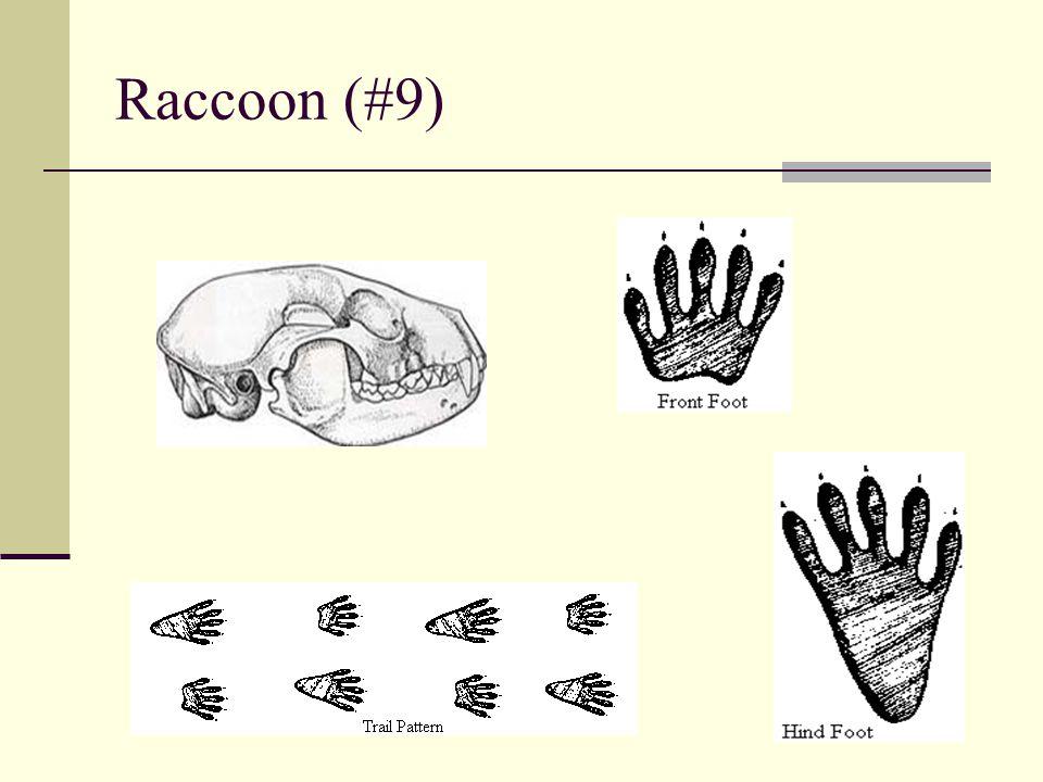 Raccoon (#9)