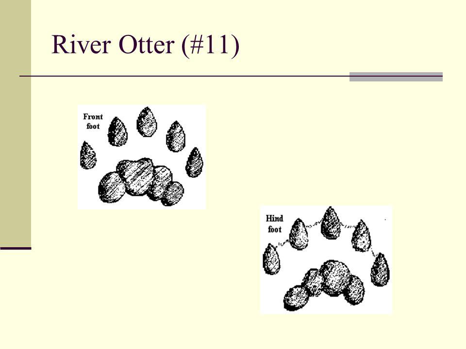 River Otter (#11)