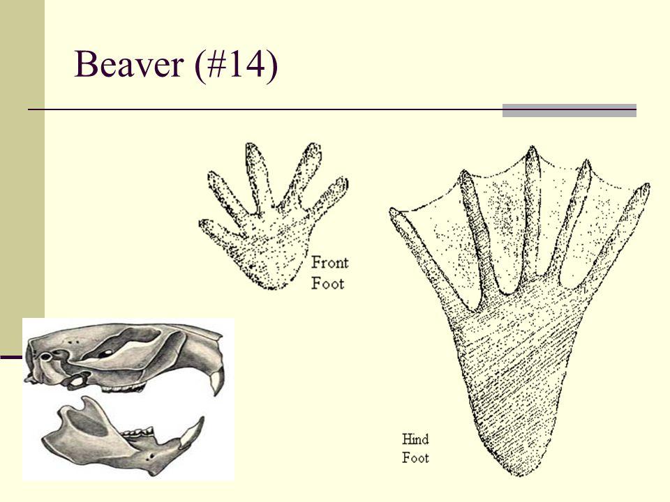 Beaver (#14)