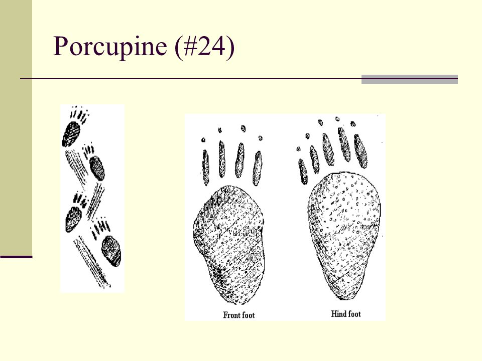 Porcupine (#24)