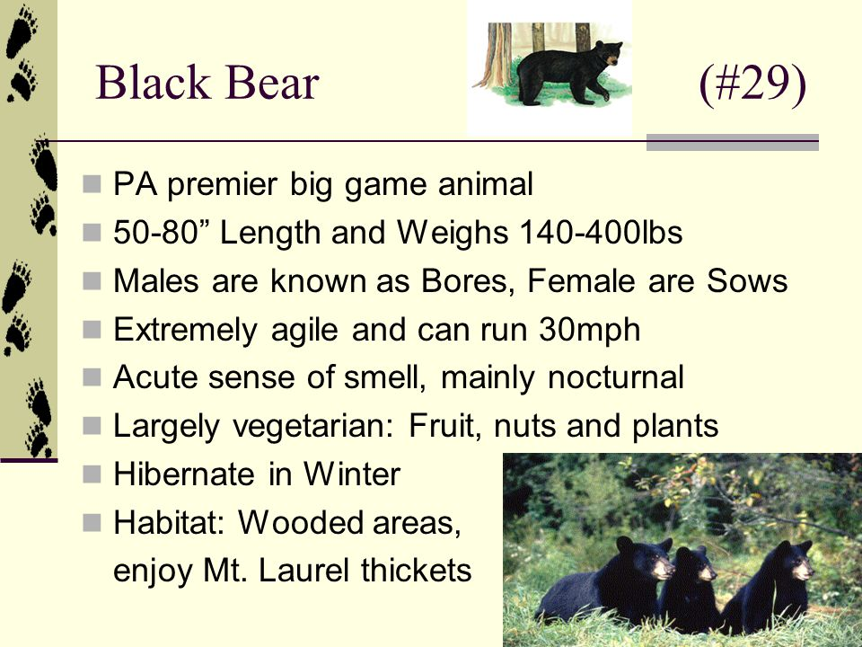 Black Bear (#29) PA premier big game animal 50-80 Length and Weighs 140-400lbs Males are known as Bores, Female are Sows Extremely agile and can run 30mph Acute sense of smell, mainly nocturnal Largely vegetarian: Fruit, nuts and plants Hibernate in Winter Habitat: Wooded areas, enjoy Mt.