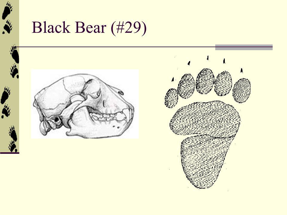 Black Bear (#29)