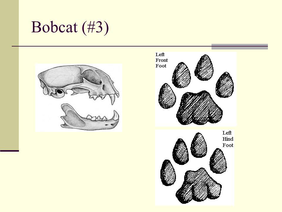 Bobcat (#3)