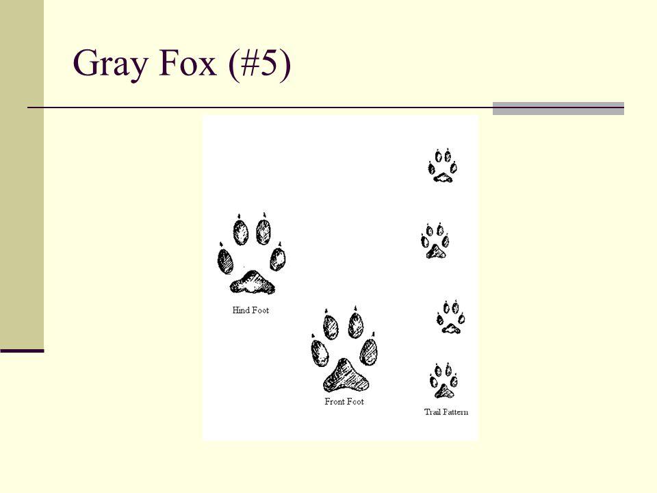 Gray Fox (#5)