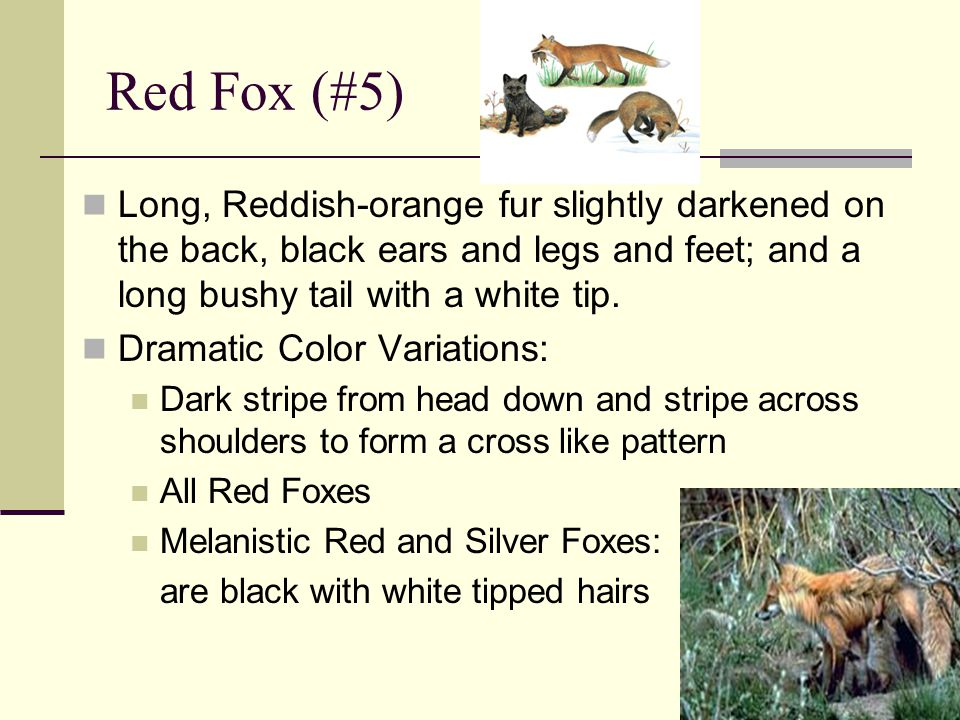 Red Fox (#5) Long, Reddish-orange fur slightly darkened on the back, black ears and legs and feet; and a long bushy tail with a white tip.