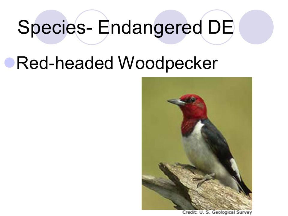 Species- Endangered DE Red-headed Woodpecker
